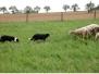 CH-6 měsíců poprvé u ovcí