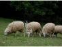Charlie a Zorra poprvé u ovcí